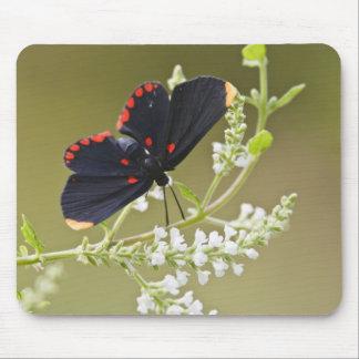 Red-bordered Pixie on white brush Mouse Mat