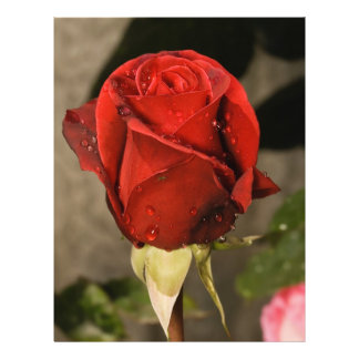 Red Camp David Hybrid Tea Rose Personalized Flyer