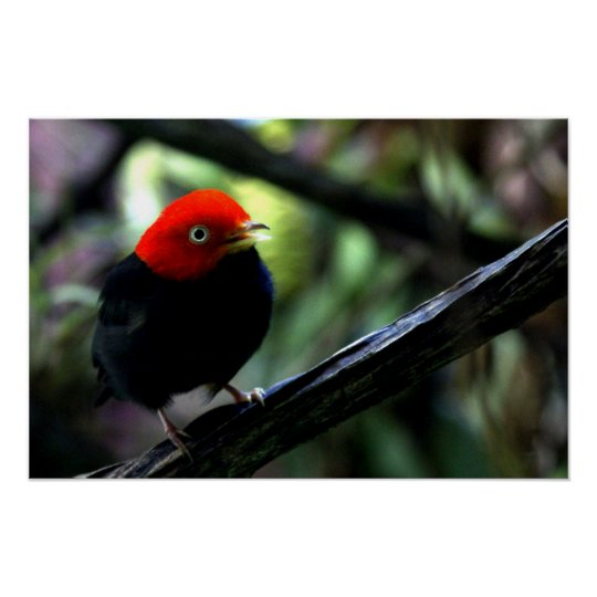 Red capped Manakin Poster