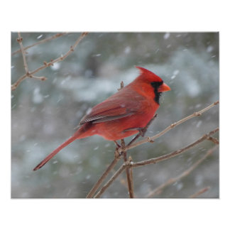 Red cardinal in Winter Posters