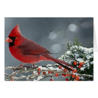 Red cardinal on icy branch of holly card