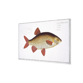 Red Carp (Cyprinus Erithrophthalmus) plate I from Canvas Print