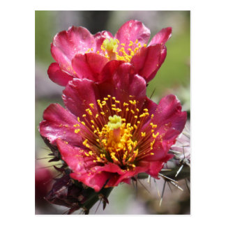 Red Cholla Blooms Postcard