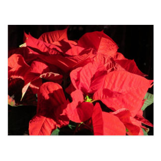Red Christmas Poinsettia Flowers Post Card