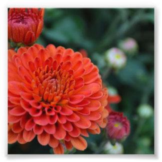 Red Chrysanthemum Photo Print