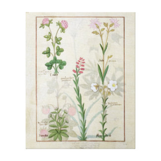 Red clover & Aube Bellidis Onobrychis & Hyssopus Canvas Print