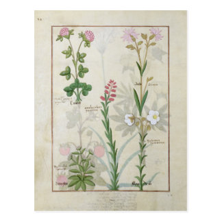 Red clover & Aube Bellidis Onobrychis & Hyssopus Postcard