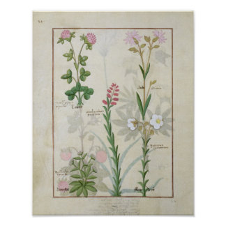 Red clover & Aube Bellidis Onobrychis & Hyssopus Poster