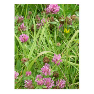 Red Clover Flowers And Buttercup Postcard