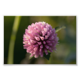 Red Clover Photo Print