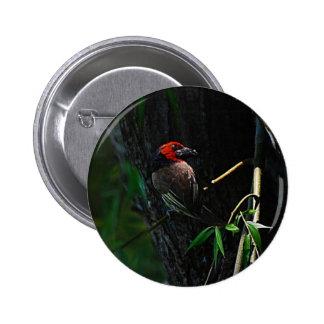 Red collared barbet bird nesting 6 cm round badge
