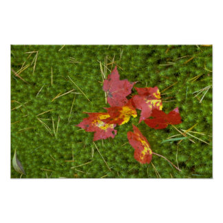 Red colored maple leaves fallen on carpet of moss print