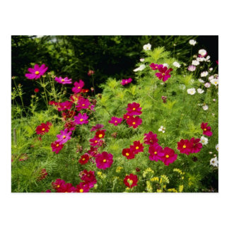 Red Cosmos flowers Postcard