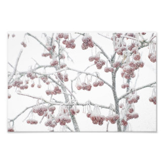 Red Crabapples in Snow Photo