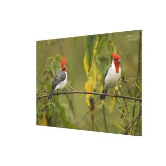 Red-Crested Cardinal Pair, Paroaria coronata, Canvas Print