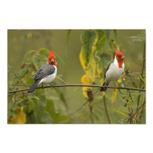 Red-Crested Cardinal Pair, Paroaria coronata, Photo Art