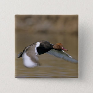 Red-crested Pochard, Netta rufina, male in 15 Cm Square Badge