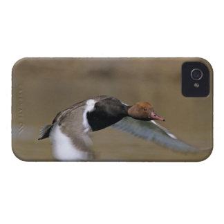 Red-crested Pochard, Netta rufina, male in Case-Mate iPhone 4 Cases