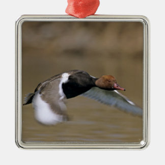 Red-crested Pochard, Netta rufina, male in Christmas Ornament