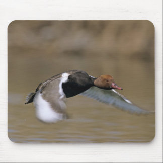 Red-crested Pochard, Netta rufina, male in Mouse Mat