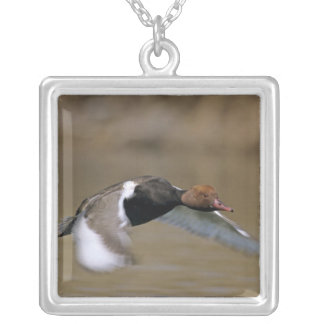 Red-crested Pochard, Netta rufina, male in Silver Plated Necklace