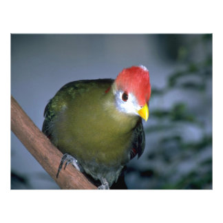 Red-crested turaco, Africa Flyers