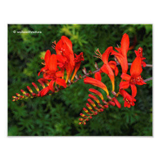 Red Crocosmia Lucifer Coppertips Flowers Photo Art
