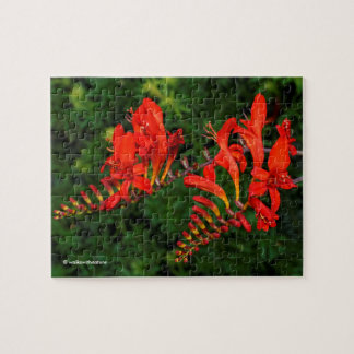 Red Crocosmia Lucifer Coppertips Flowers Puzzles