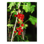 red currant postcard