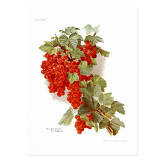 Red Currant 'The Southwell' Postcard