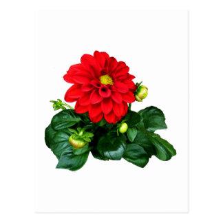 Red Dahlia Dahlinova Post Card