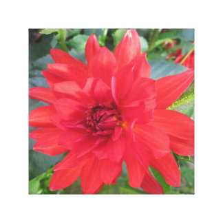 Red Dahlia Plant Stretched Canvas Prints