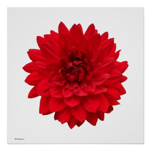 Red Dahlia Posters