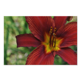 Red Daylily Photo Print