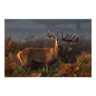 Red Deer at Dawn Print