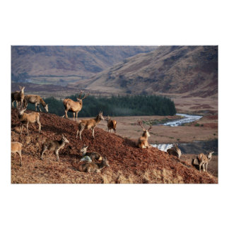 Red Deer in Glen Etive, Highlands, Scotland Poster