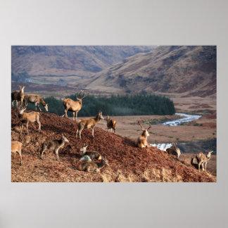 Red Deer in Glen Etive, Highlands, Scotland Poster