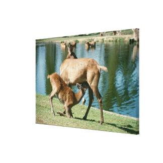 Red deer nursing offspring canvas print