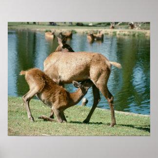 Red deer nursing offspring poster