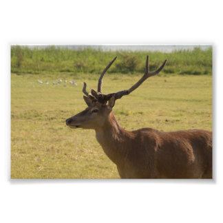 Red Deer Stag Photo