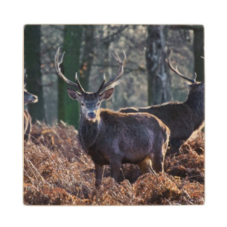 Red Deer Stag Portrait In Autumn Fall Winter Wood Coaster
