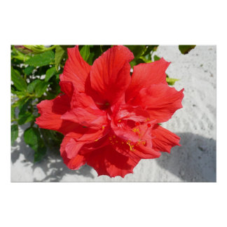 Red Double Hibiscus Flower Poster
