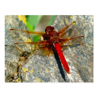 Red DragonFly or DamselFly Insect Photo Postcard