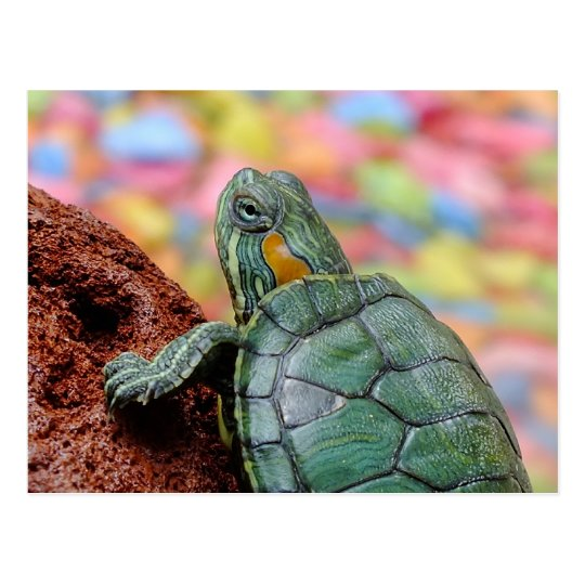Red-eared slider turtle postcard