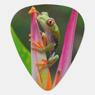 Red-eye tree frog, Costa Rica 2 Plectrum