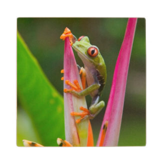 Red-eye tree frog, Costa Rica 2 Wood Coaster