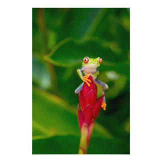 Red-eye tree frog, Costa Rica Photo Print