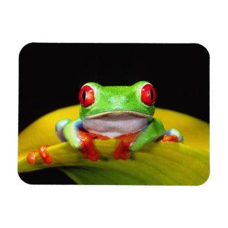 Red Eye Treefrog, Agalychinis callidryas, Native Rectangular Photo Magnet