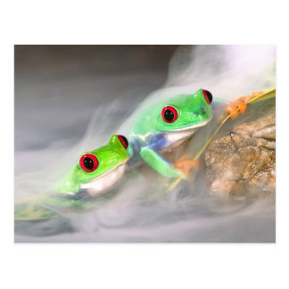Red Eye Treefrog in the mist, Agalychinis 2 Postcard