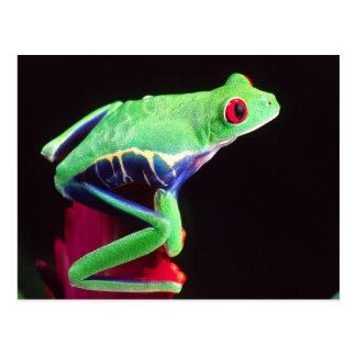 Red Eye Treefrog on a Bromeliad, Agalychinis Postcard